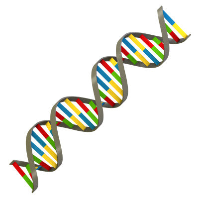 What is a strand of DNA?