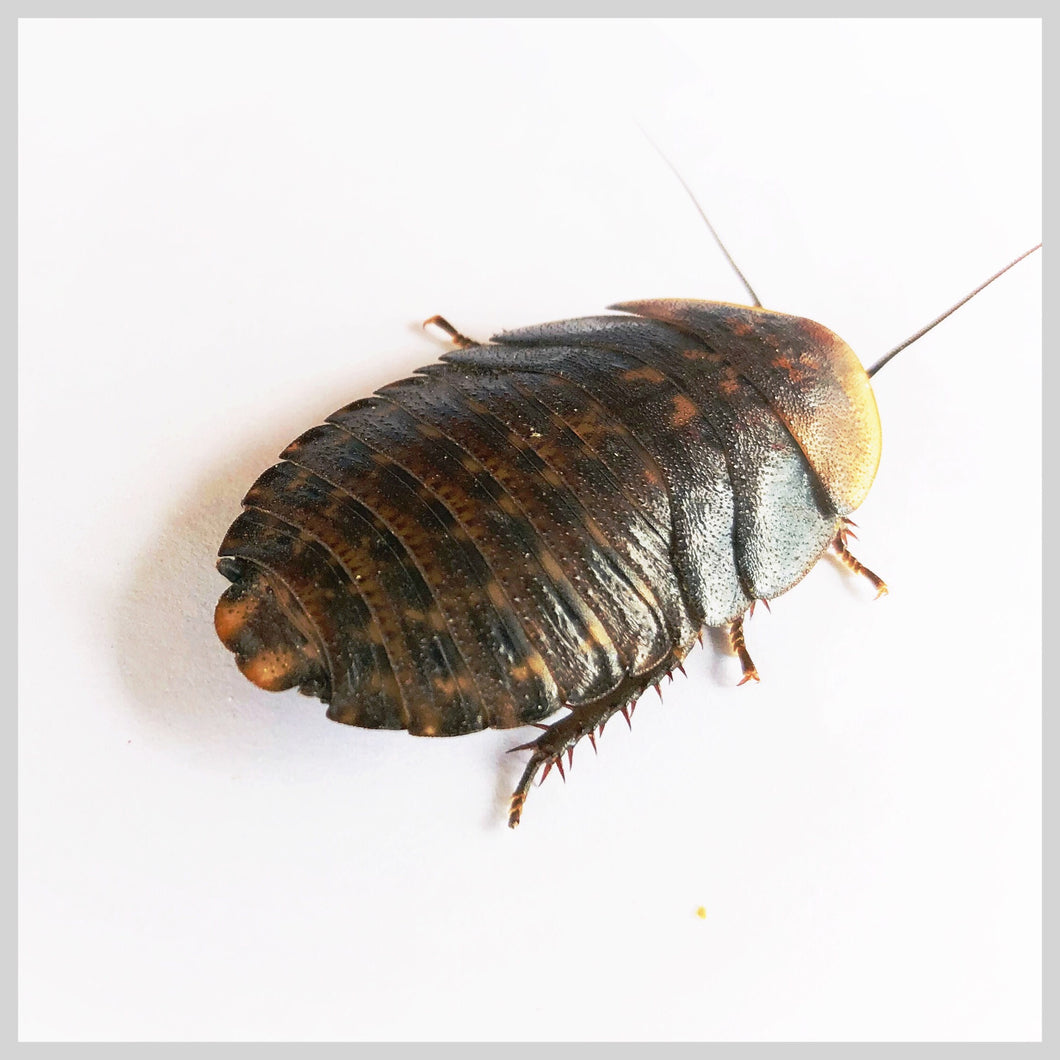 Discoid Roaches