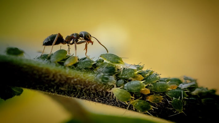 Aphids and ants