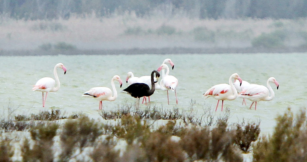 A rare BLACK Flamingo has returned  to Akroti Salt Lake