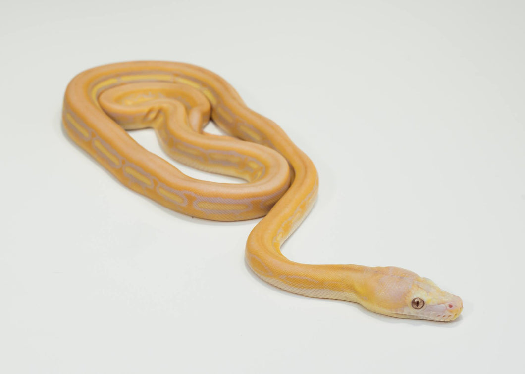 Female reticulated python showing lavender and supertiger genetics, types of albinism.  Born 2017