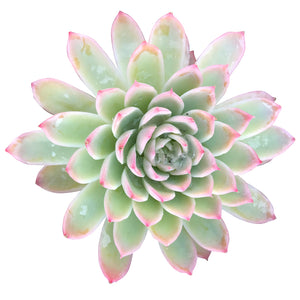 echeveria subsessilis morning beauty succulent plant