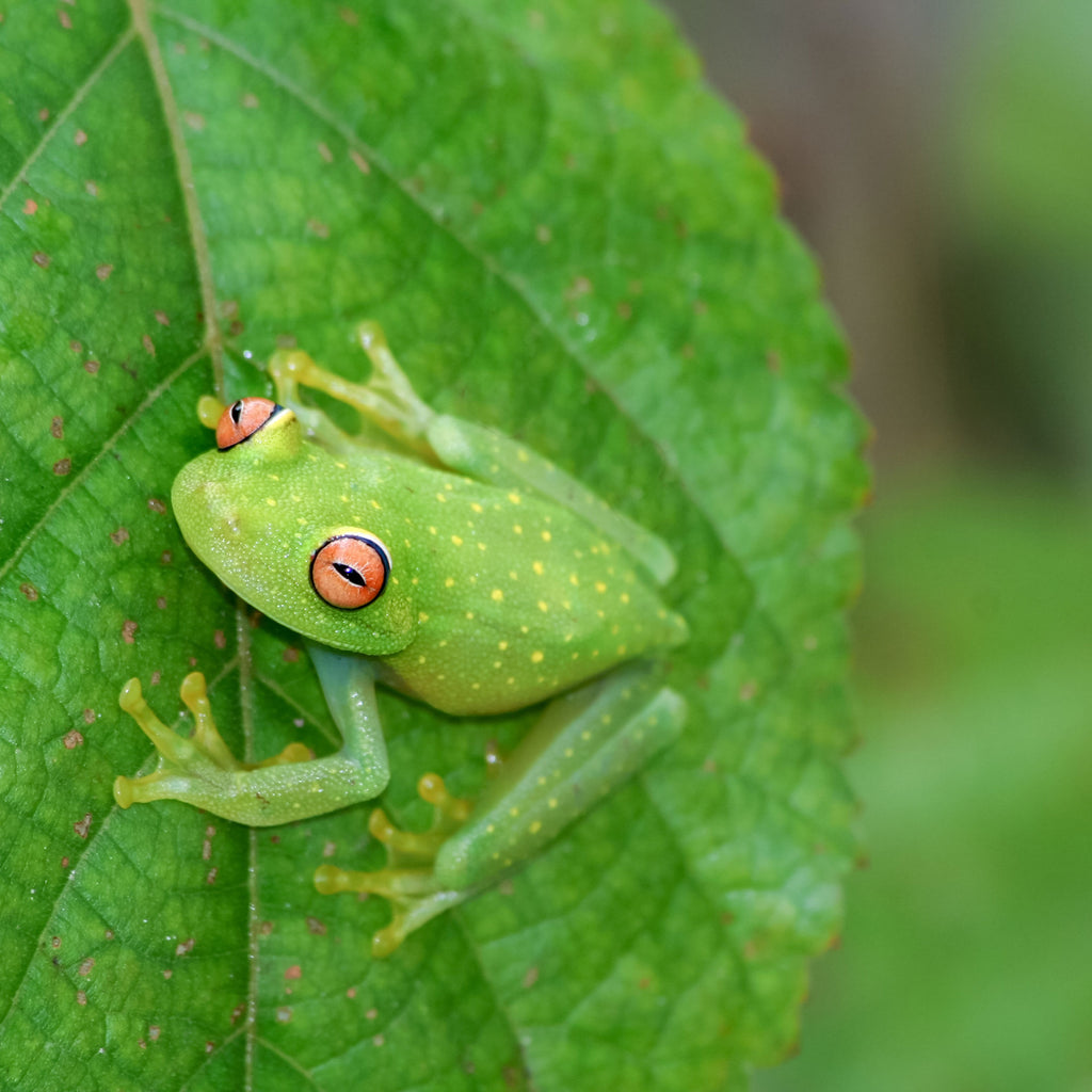 Why We've Fallen in Love with Frogs