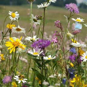 Butterfly and Bee 100% Wildflower Seed Mix