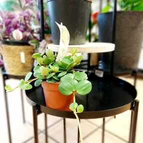 Peperomia Hope - live small succulent house plant in 12cm pot. Easy care trialing succulent houseplant. Pet safe.